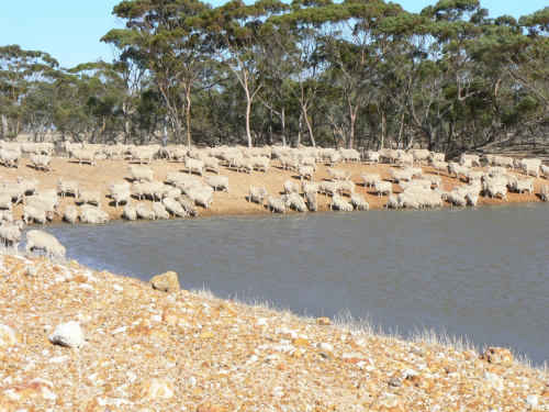 Sheep drinking at a dam.jpg