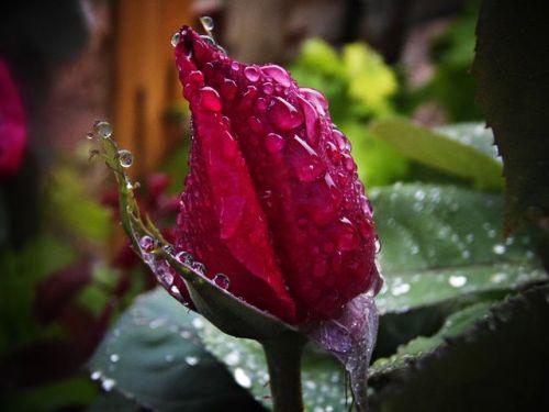 red-rose-548062__480.jpg