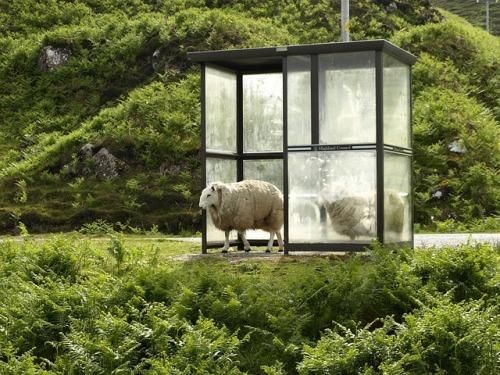 sheep-974107_640.jpg