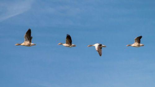 geese-618595__480.jpg