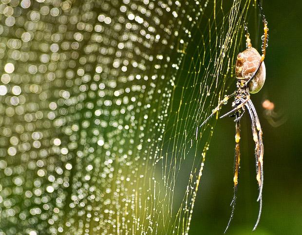 Golden-orb-spider-article